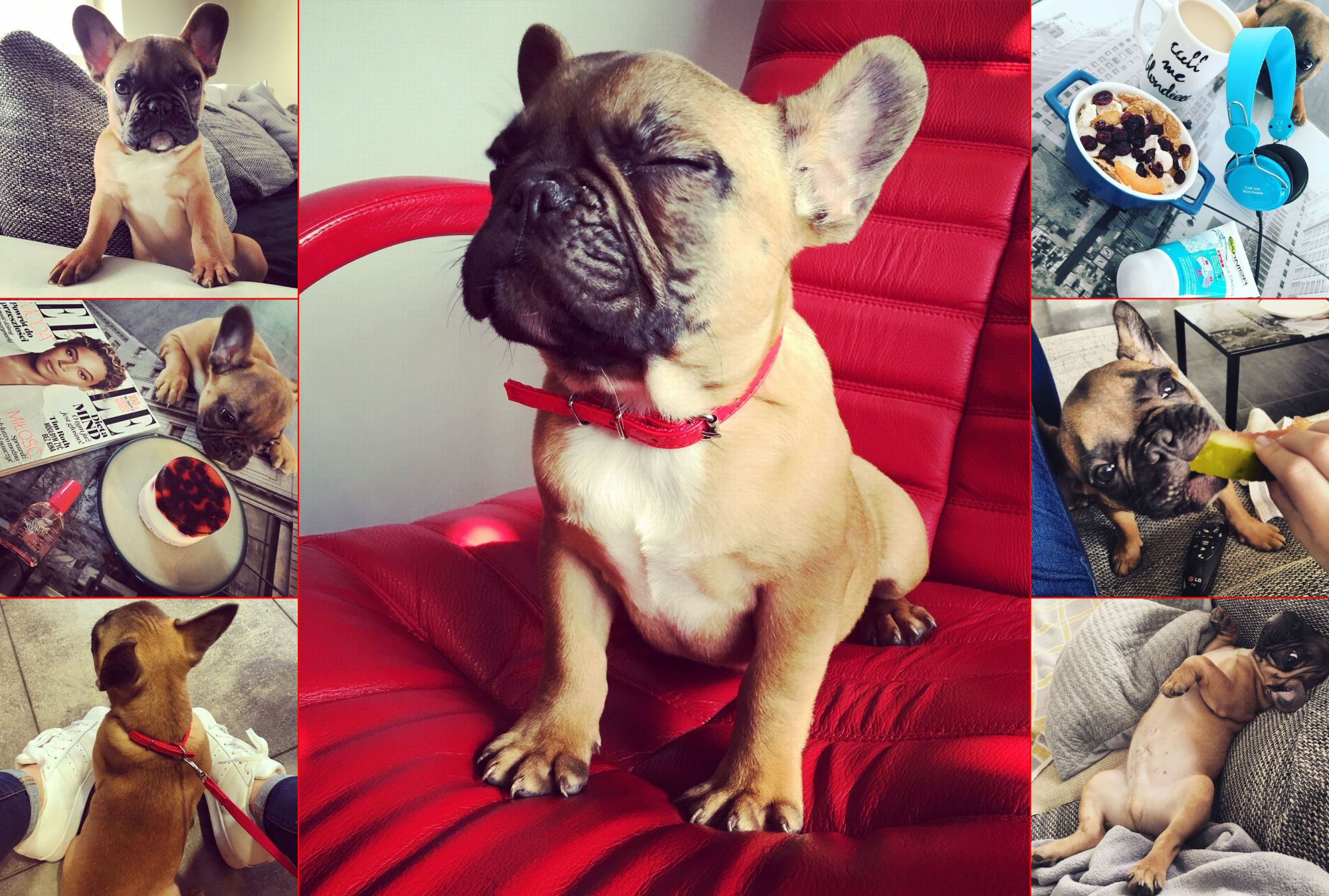janusz_the_frenchie
