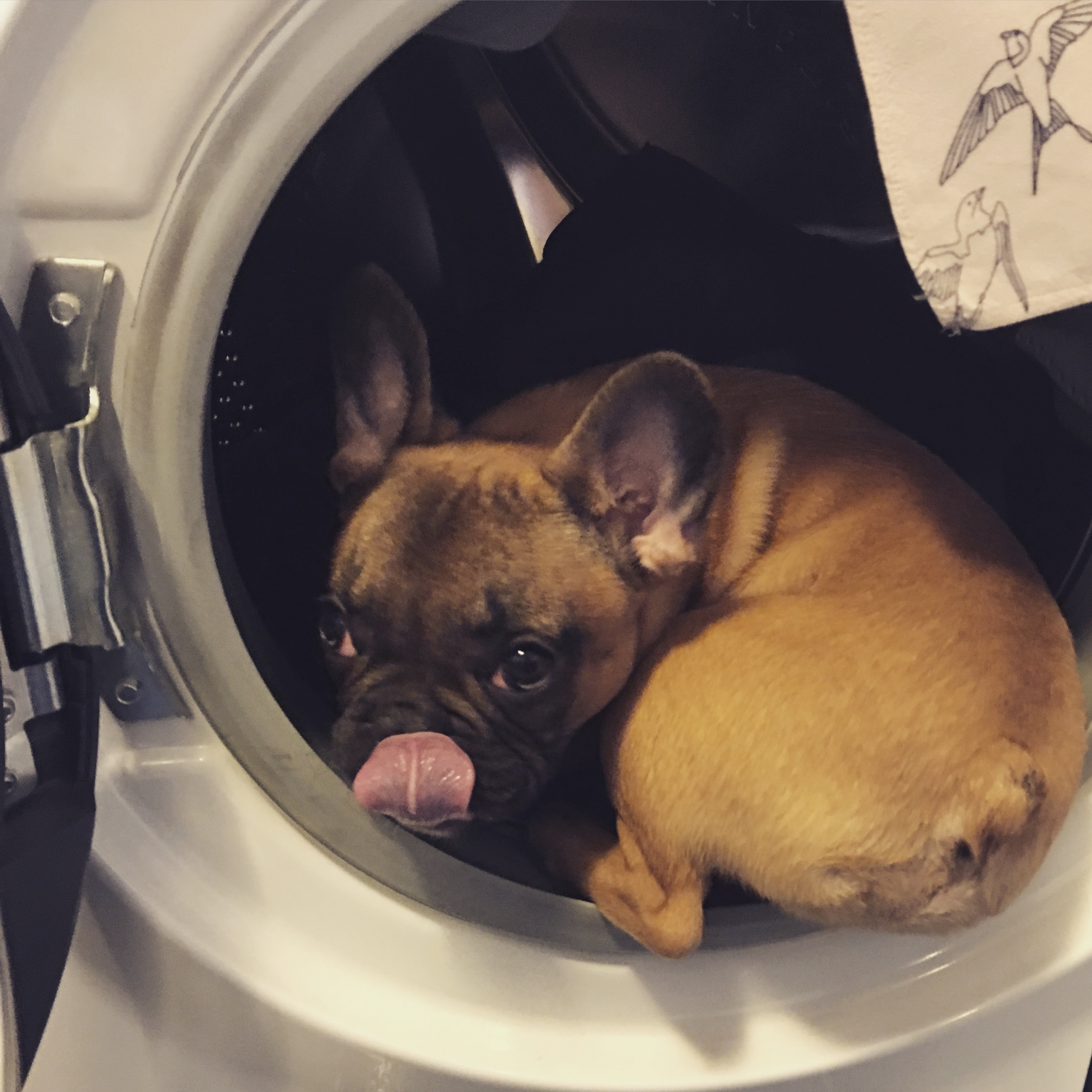 janusz_the_frenchie_12