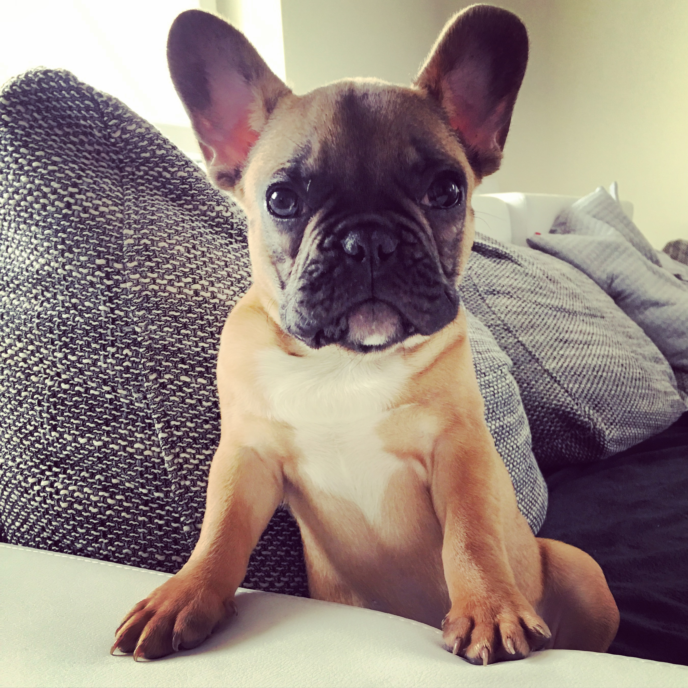 janusz_the_frenchie_5