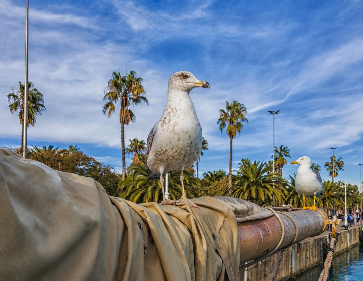 Seagull looks directly at the camera. Sea birds in the sky and palm trees.